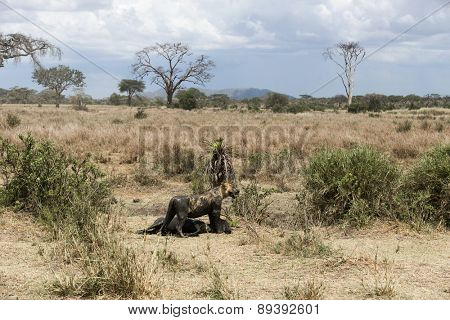 Dirty lioness standing next to its prey, Serengeti, Tanzania, Africa