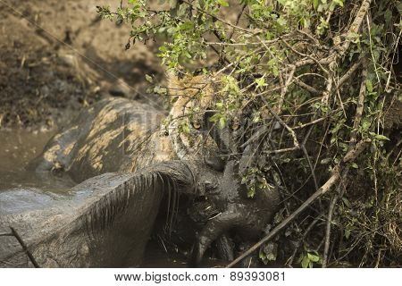 Lioness holding its prey in a muddy river, Serengeti, Tanzania, Africa