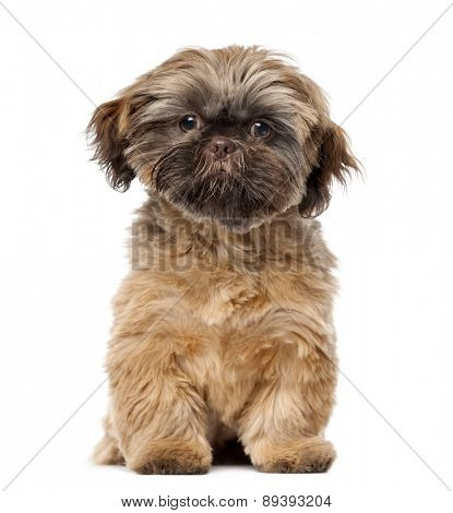 Shih Tzu puppy (5 months old) in front of a white background