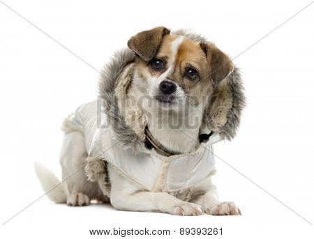 Crosbreed dressed (3 years old) in front of a white background