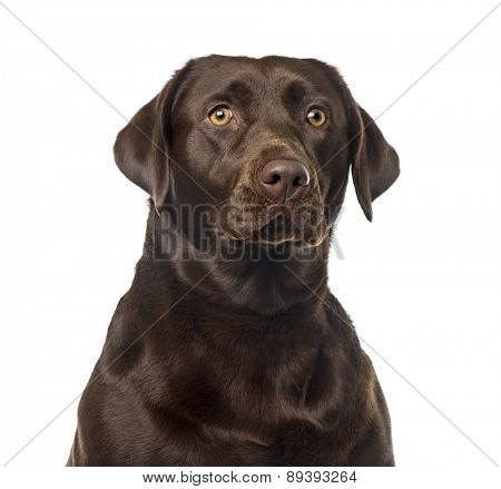 Labrador Retriever (2 years old) in front of a white background
