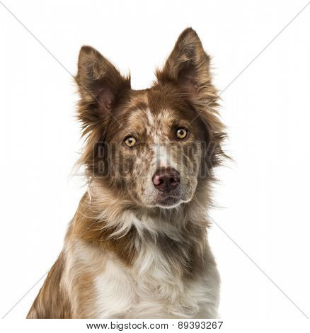 Border Collie (15 years old) in front of a white background