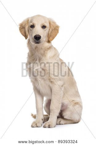 Golden retriever (5 months old) sitting