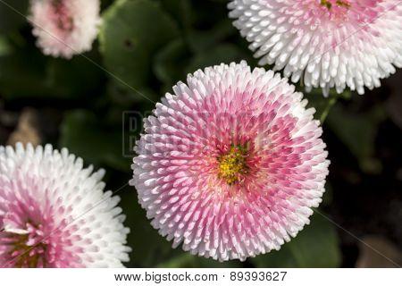Pink Daisy Bloom In Spring, Bellis Perennis Pomponetrte
