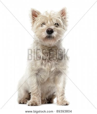 West Highland White Terrier (12 years old) in front of a white background