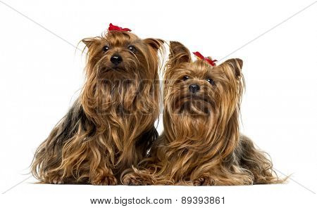 Two Yorkshire Terriers in front of a white background