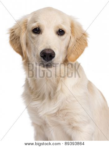 Close-up of a Golden retriever (5 months old) in front of a white background