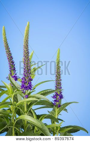 Purple Salvia Spikes On Blue
