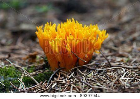 Small Coral Mushroom