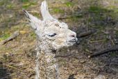stock photo of lamas  - Newborn white Llama  - JPG