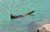 picture of sea lion  - Australian fur seal  - JPG