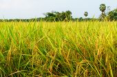 picture of rice  - rice fields or rice paddies stalks of rice - JPG