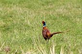 picture of pheasant  - male pheasant ( Phasianus colchicus ) in the field
