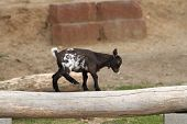 pic of pygmy goat  - young black goat equilibrium exercise on a tree stump near the farm  - JPG