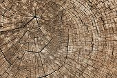 picture of cutting trees  - Wood texture of cut tree trunk - JPG