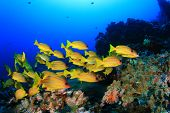 image of school fish  - School yellow fish  - JPG