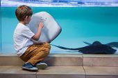 picture of manta ray  - Young man pointing a manta ray in a tank at the aquarium - JPG