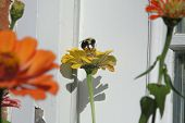 stock photo of bumble bee  - Bumble Bee was spotted on a flower - JPG