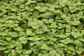 pic of mint leaf  - Growing mint leaves or lemon balm leaves - JPG