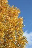 pic of white bark  - Golden - JPG