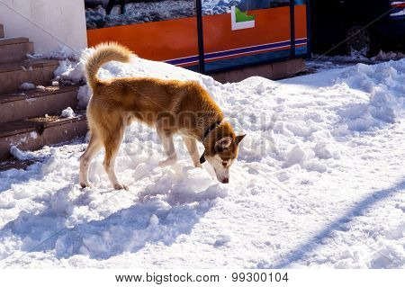 Dog Looking For Food On The Snow Covered Streets