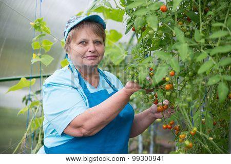 Senior pensioner woman in greenhouse with tomato