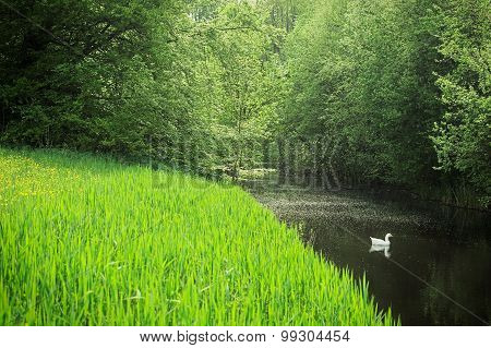 White Duck Swimming In The Forest Creek
