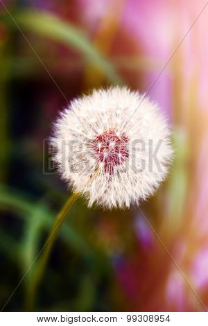 White dandelion on green background