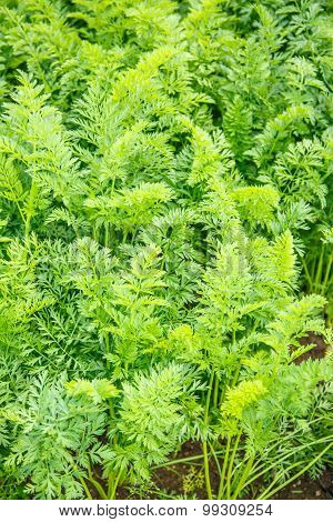 Green Growing Carrot Tops