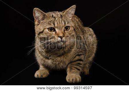 Portrait of a cat Scottish Straight