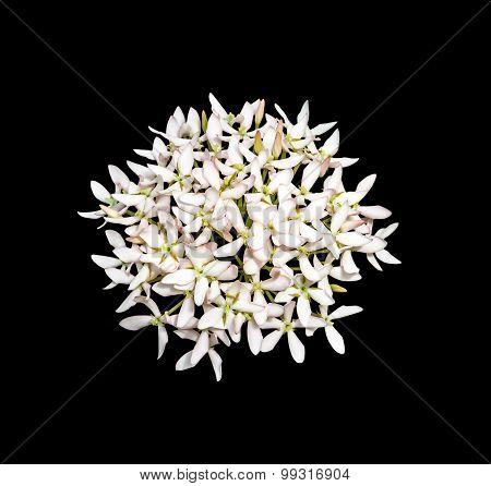 Rubiaceae   Flowers Isolated