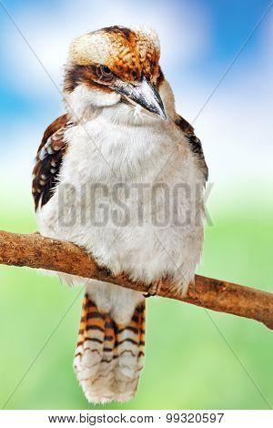 Bird - Laughing Kookaburra.