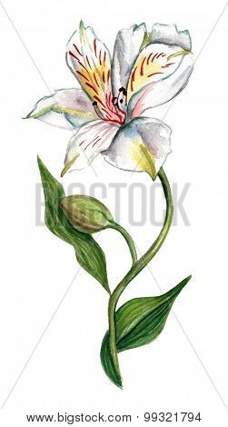 Watercolour white flower (alstroemeria), with unopened bud and green leaves, on white
