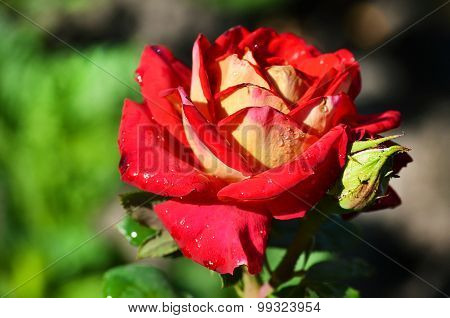 Red Rose Blooming In The Garden