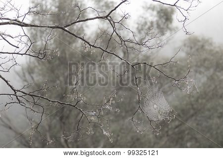 Spider web in misty branches