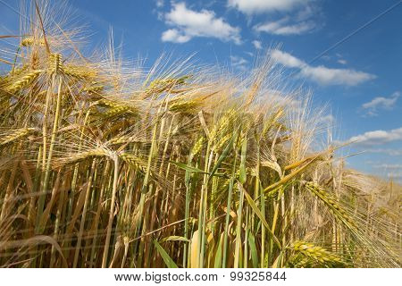 Germany, North Rhine-westphalia, Grain Field, Barley Field, Spikes