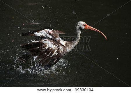 American white ibis (Eudocimus albus) juvenile. Wild life animal.