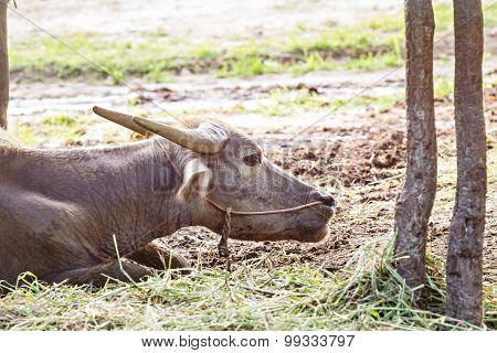 Thai Water Buffalo Head Shot, Vintage Style