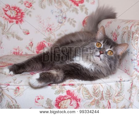 Fluffy Gray Cat Lies On Chair