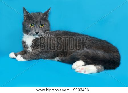 Gray And White Cat Lying On Blue