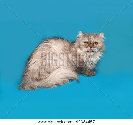 Gray Exot Cat Sitting On Blue