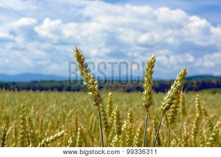Ears of corn and rural landscape