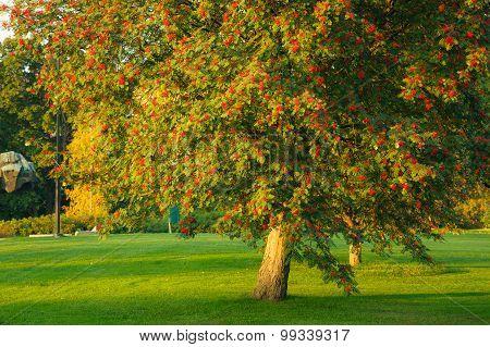 Big rowan tree and ripe berries