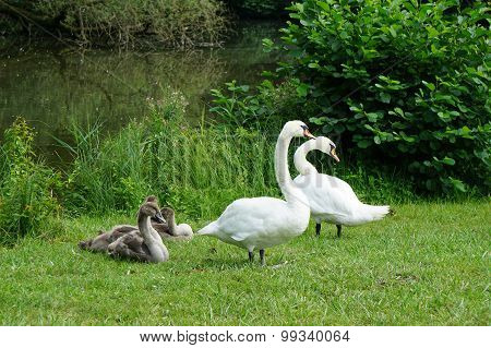white swan family with cygnets