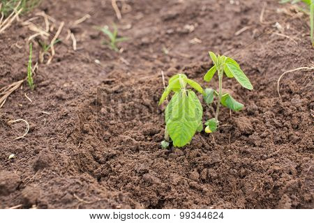Young Soya Plants On A Farm