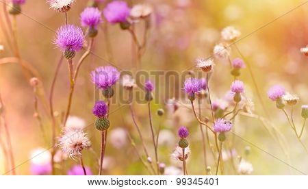 Thistle flowering - blooming