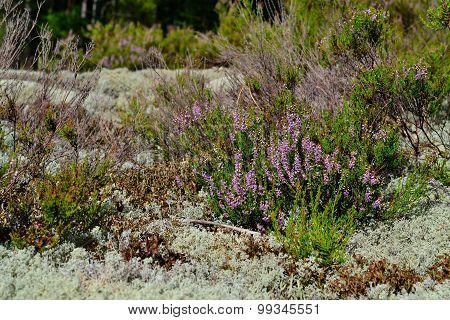 Heath in the white moss