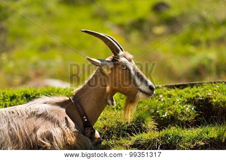 Mountain Goat On The Green Grass