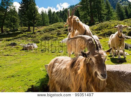 Mountain Goats In Alpine Landscape - Italy