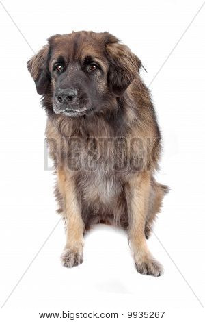 Leonberger Isolated On White